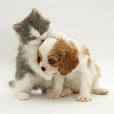 King Charles puppy with grey-and-white kitten