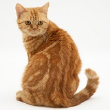 British shorthair red tabby cat looking round