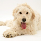 Labradoodle lying with head up