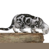 Silver tabby cat scent-marking the top of a fence