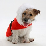 Jack Russell with Christmas coat on