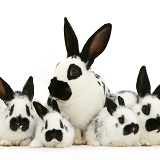 English spotted rabbits
