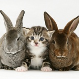 Tabby kitten with two young Rex rabbits