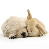 Sleepy Golden Retriever pup and young Sandy Lop rabbit