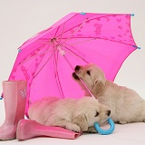 Golden Retriever pups under a pink umbrella