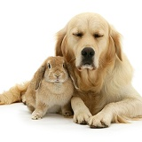 Sandy Lop rabbit with sleepy Golden Retriever bitch