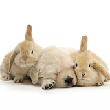 Sleepy Golden Retriever pup and young Sandy Lop rabbits