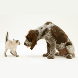 Kitten frightened by Spinone pup