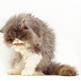 Persian cat washing his paws and face