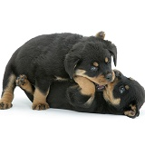 Two Rottweiler pups play-fighting