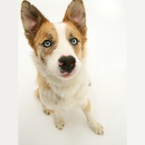 Red merle Border Collie with ears pricked