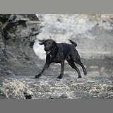 Black Labrador running on a shale beach