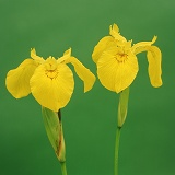 Yellow Iris flowers on green background