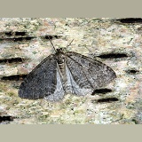 November Moth on birch bark
