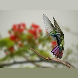 Black-throated Mango Hummingbird