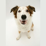 White-faced Border Collie dog sitting