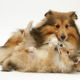 Sable Shetland Sheepdog pup pulling mother's ruff