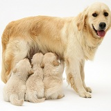 Mother Golden Retriever and pups