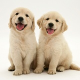 Two Golden Retriever pups sitting