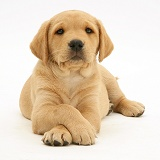 Yellow Labrador Retriever puppy lying with paws crossed