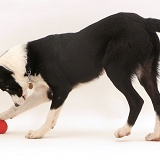 Border Collie pup playing with her squeaky ball