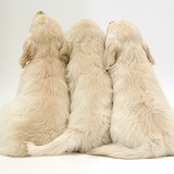 Three Golden Retriever pups sitting, back view