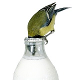 Great Tit drinking from a milk bottle