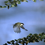 Great Tit flying