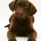 Chesapeake Bay Retriever pup