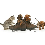 Dachshund pups and kitten and boots