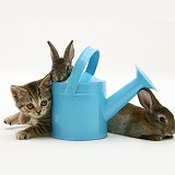 Tabby kitten with rabbits in a toy watering can