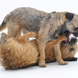Border Terriers play-fighting