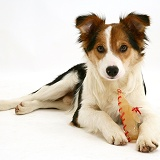 Tricolour Border Collie pup with rawhide shoe chew