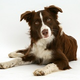 Chocolate Border Collie
