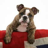 Bulldog pup with paws over Union Jack flag