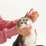 Vet giving ear mite drops to a cat