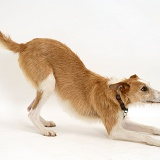 Lurcher in play-bow
