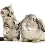 Silver tabby kitten with silver agouti Lop rabbit