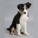 Border Collie puppy sitting