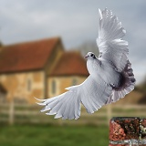 White Dove taking off