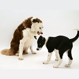 Border Collie snarling at a pup