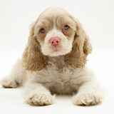 Lilac-and-white American Cocker Spaniel pup