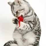 Silver tabby cat playing with a toy mouse