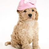 American Cockapoo puppy with a pink hat on