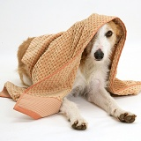Lurcher dog peering out from under a towel