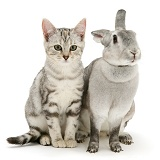 Silver tabby cat and silver rabbit