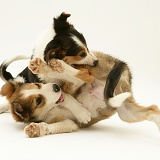Border Collies fighting