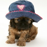 Cavazu puppy wearing a baby hat