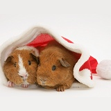 Young red Rex Guinea pigs, 6 weeks old, in a Santa hat