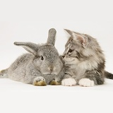 Silver Lop rabbit with silver tabby Maine Coon kitten